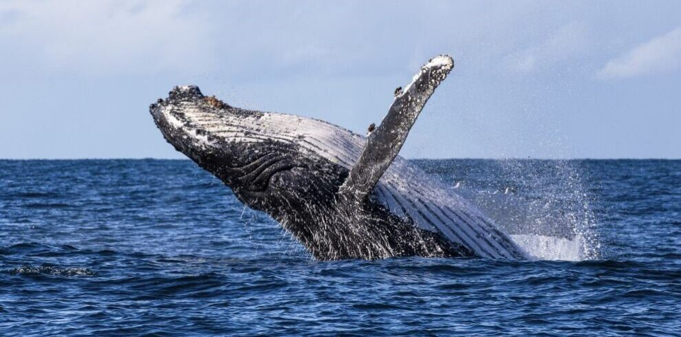 The breach of a humpback whale