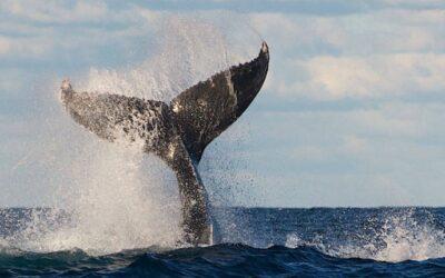 Whale Splashing Tail